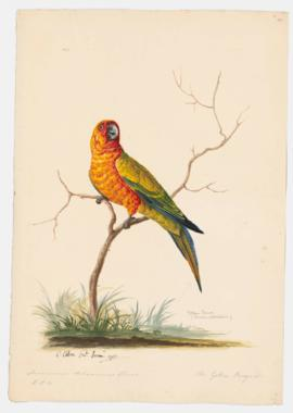 Yellow Conure