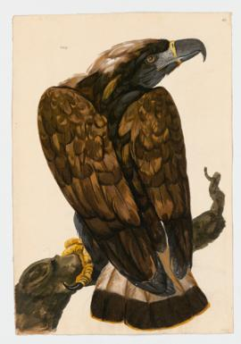 Golden Eagle, immature