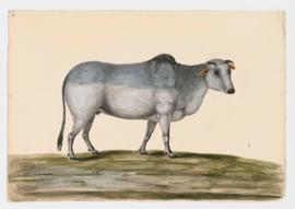Common Cattle (Zebu variety), female