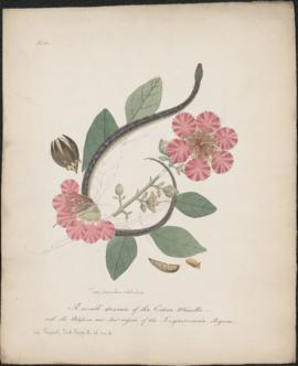 A small specimen of the Cobra Minelle : with the Blossoms and Seed-vessels of the Lagerstroemia R...