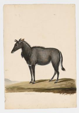 Nilgai or Blue Bull [male]