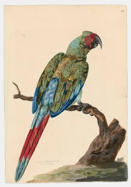 The green or Military Macaw