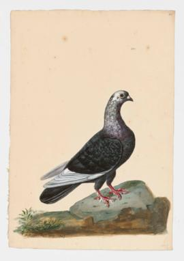 Rock Dove, Rock Pigeon