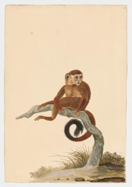 Tufted Capuchin, Brown Capuchin