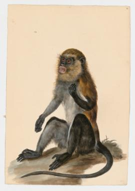 Campbell's Guenon