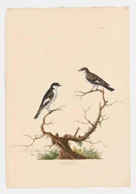 Pied Flycatcher [male]&[female]