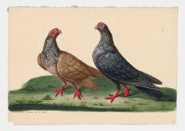 Rock Dove, Rock Pigeon. Barbary, Barb