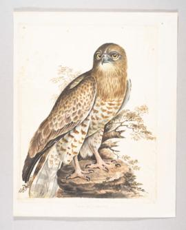 Short-toed eagle (Circaetus gallicus)
