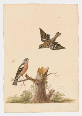 Chaffinch [male] & [female].