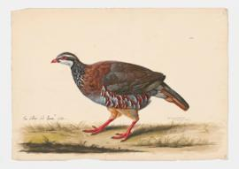 Red-legged Partridge