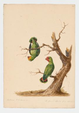 Red-headed Lovebird, male and female