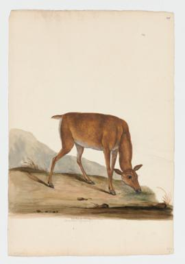 Red Deer [female] (Germany)