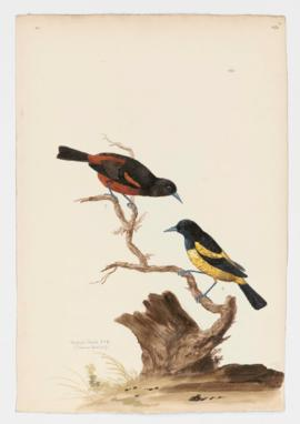 Orchard Oriole [male] & [female]