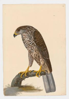 Northern Goshawk, female